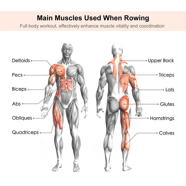 Muskeln arbeiteten Indoor Rudern Vorteile des Rudergeräts